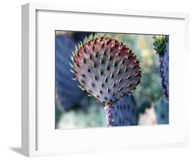 Purple Prickly Pear (Opuntia Violaoea) Arizona, Usa-Jeff Foott-Framed Photographic Print