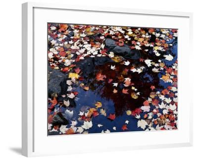 Usa, Maine, Maple Leaves-Jeff Foott-Framed Photographic Print