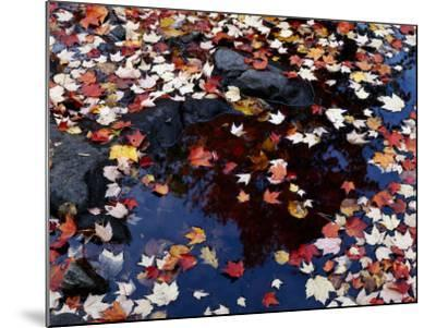Usa, Maine, Maple Leaves-Jeff Foott-Mounted Photographic Print