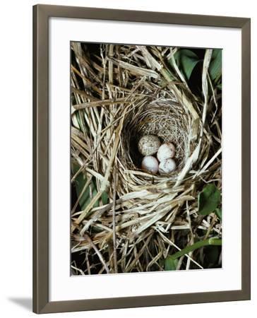 Brown-Headed Cowbird Egg in Nest of Macgillivaray's Warbler-Jeff Foott-Framed Photographic Print