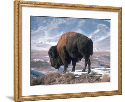 Bison Stands on Snowy Hill-Jeff Foott-Framed Photographic Print