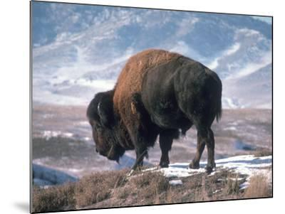 Bison Stands on Snowy Hill-Jeff Foott-Mounted Photographic Print