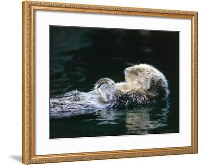 Sea otter sleeps while floating on back-Jeff Foott-Framed Photographic Print
