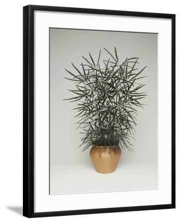 Close-Up of a False Aralia Plant (Dizygotheca Elegantissima)-C^ Dani-Framed Photographic Print