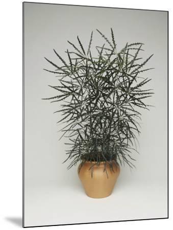 Close-Up of a False Aralia Plant (Dizygotheca Elegantissima)-C^ Dani-Mounted Photographic Print