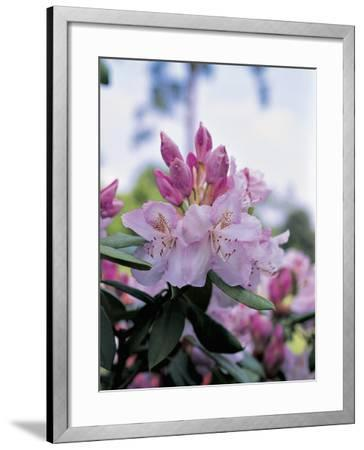 Close-Up of Rhododendron Mrs--Framed Photographic Print