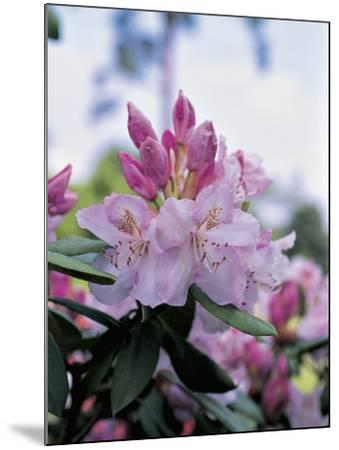 Close-Up of Rhododendron Mrs--Mounted Photographic Print
