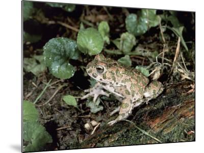 Close-Up of a Green Toad (Bufo Viridis)-S^ Montanari-Mounted Photographic Print