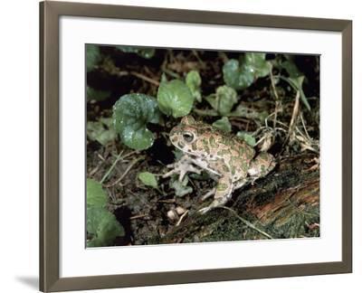 Close-Up of a Green Toad (Bufo Viridis)-S^ Montanari-Framed Photographic Print