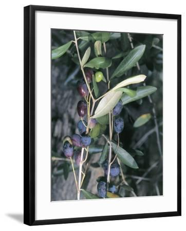 Close-Up of Leaves of an Olive Tree (Olea Europaea) with Fruits, Diano Marina, Liguria, Italy-S^ Montanari-Framed Photographic Print
