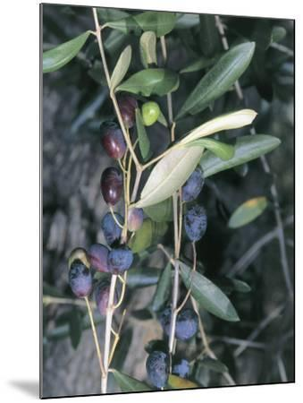 Close-Up of Leaves of an Olive Tree (Olea Europaea) with Fruits, Diano Marina, Liguria, Italy-S^ Montanari-Mounted Photographic Print