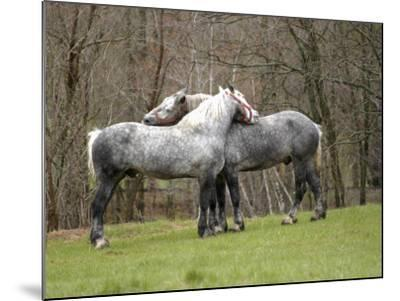 New Hampshire, North Conway, Two Dutch Draft Horses-Jamie Gemmiti-Mounted Photographic Print
