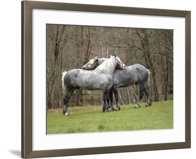 New Hampshire, North Conway, Two Dutch Draft Horses-Jamie Gemmiti-Framed Photographic Print