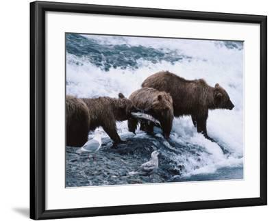 Mother and Two-Year-Old Grizzly Bear Cubs Eating Fish in a Stream-Jeff Foott-Framed Photographic Print