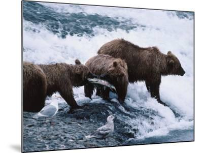 Mother and Two-Year-Old Grizzly Bear Cubs Eating Fish in a Stream-Jeff Foott-Mounted Photographic Print