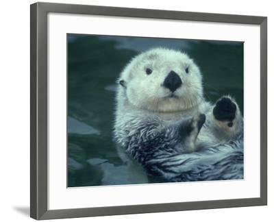 Sea Otter Floats on Back with its Paws Raised Up Out of the Water-Jeff Foott-Framed Photographic Print