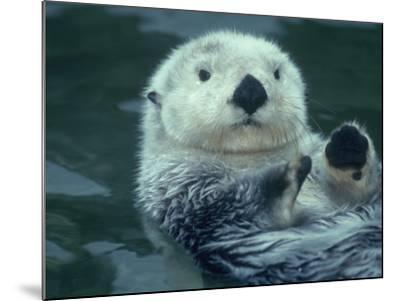 Sea Otter Floats on Back with its Paws Raised Up Out of the Water-Jeff Foott-Mounted Photographic Print