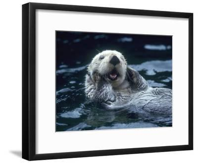 Sea Otter Floats on Back with its Paws on Face and Mouth Open-Jeff Foott-Framed Photographic Print