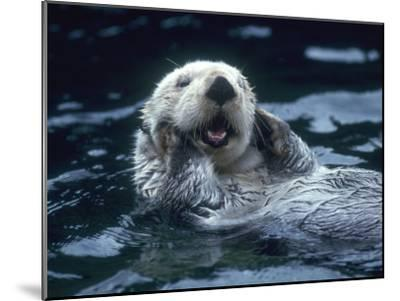 Sea Otter Floats on Back with its Paws on Face and Mouth Open-Jeff Foott-Mounted Photographic Print