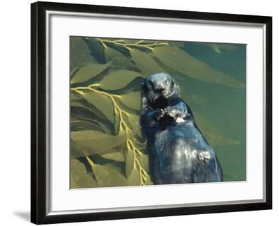 Sea Otter Lays on Back in Water with Clam on Chest, Surrounded by Kelp-Jeff Foott-Framed Photographic Print
