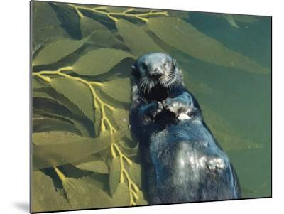 Sea Otter Lays on Back in Water with Clam on Chest, Surrounded by Kelp-Jeff Foott-Mounted Photographic Print
