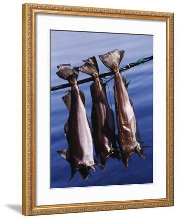 Fish Hanging to Dry, Traditional Method of Drying Fish in Iceland--Framed Photographic Print