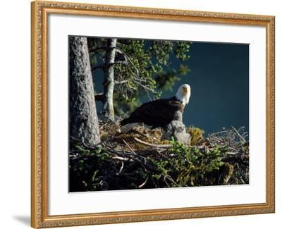 Bald Eagle with Chicks at Nest-Jeff Foott-Framed Photographic Print