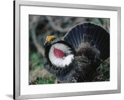 Blue Grouse Spreads its Feathers in Courtship Display-Jeff Foott-Framed Photographic Print