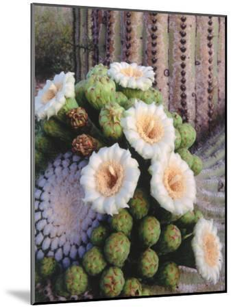 Detail of White and Peach Blooms on Saguaro Cactus-Jeff Foott-Mounted Photographic Print
