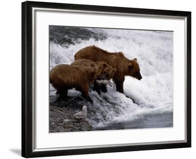 Grizzly Bear Mother Andyoung Hunting Fish-Jeff Foott-Framed Photographic Print