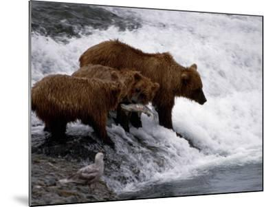 Grizzly Bear Mother Andyoung Hunting Fish-Jeff Foott-Mounted Photographic Print