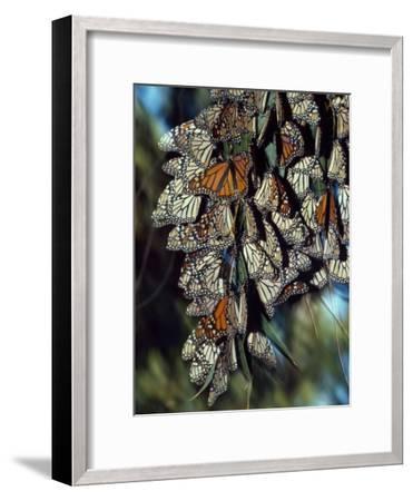Dozens of Monarch Butterflies Perch on Blades of Grass-Jeff Foott-Framed Photographic Print