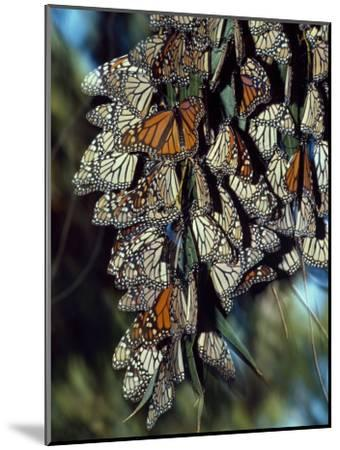 Dozens of Monarch Butterflies Perch on Blades of Grass-Jeff Foott-Mounted Photographic Print