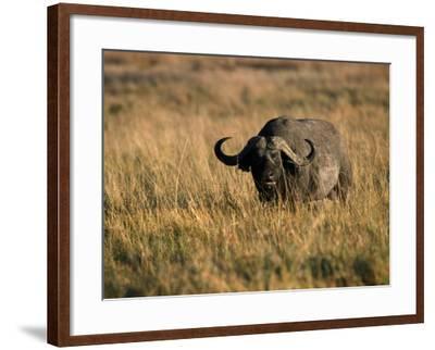 African Buffalo-Jeff Foott-Framed Photographic Print