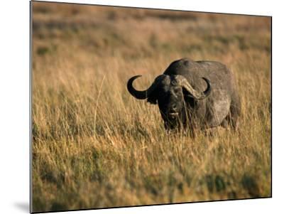 African Buffalo-Jeff Foott-Mounted Photographic Print