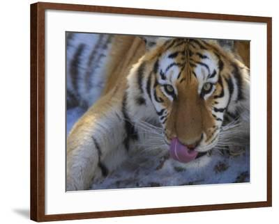 China, Heilongjiang Province, Siberian Tiger, Close Up-Keren Su-Framed Photographic Print
