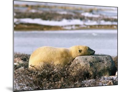 Polar Bear Sleeps with its Head on a Rock-Jeff Foott-Mounted Photographic Print