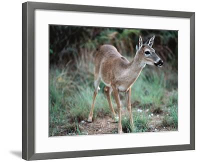Detail of Key Deer, One of Shortest Breeds of Deer-Jeff Foott-Framed Photographic Print