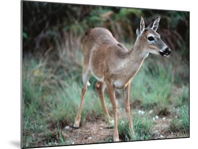 Detail of Key Deer, One of Shortest Breeds of Deer-Jeff Foott-Mounted Photographic Print