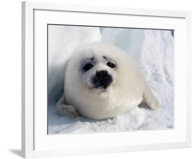 Harp Seal Pup-Jeff Foott-Framed Photographic Print