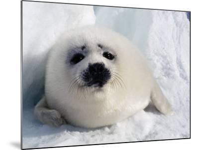 Harp Seal Pup-Jeff Foott-Mounted Photographic Print