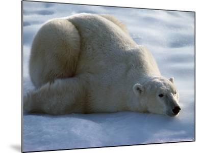 Polar Bear Relaxing on Ice, Canada-Jeff Foott-Mounted Photographic Print
