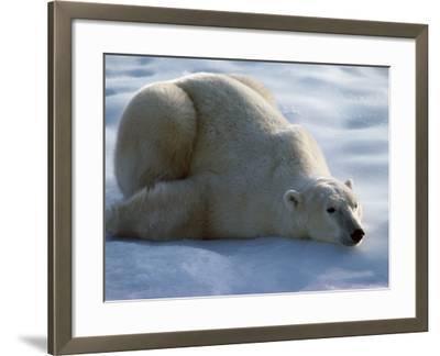 Polar Bear Relaxing on Ice, Canada-Jeff Foott-Framed Photographic Print