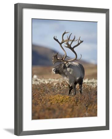 A Male Reindeer in Norway--Framed Photographic Print