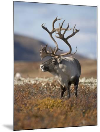A Male Reindeer in Norway--Mounted Photographic Print