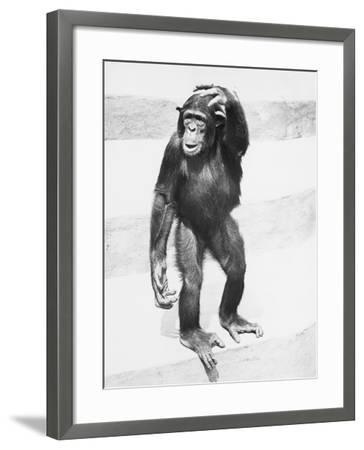 Chimpanzee Standing on Steps, Scratching Head-George Marks-Framed Photographic Print