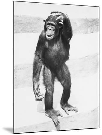 Chimpanzee Standing on Steps, Scratching Head-George Marks-Mounted Photographic Print