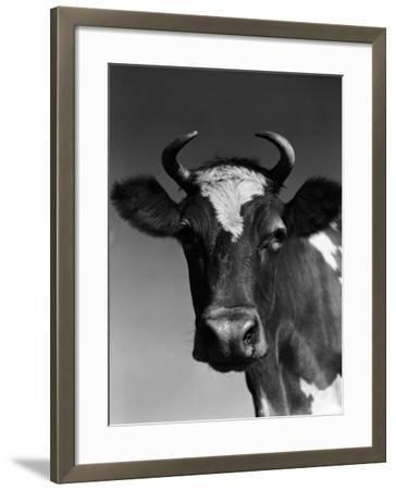 Guernsey Cow-H^ Armstrong Roberts-Framed Photographic Print