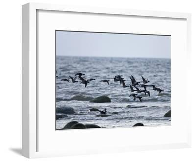 Geese Flying over a Sea--Framed Photographic Print