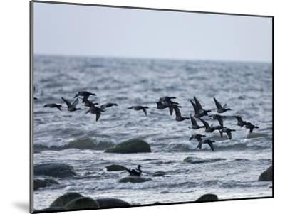 Geese Flying over a Sea--Mounted Photographic Print